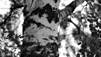 Gothenburg_birch tree