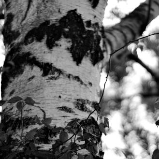 Gothenburg_birch tree