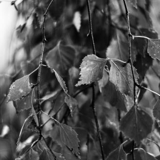 Gothenburg_wet leaves