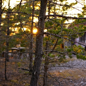 sweden_faro_gotland_sunset_pines